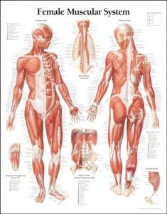 human-anatomy-diagram-back-view-organs